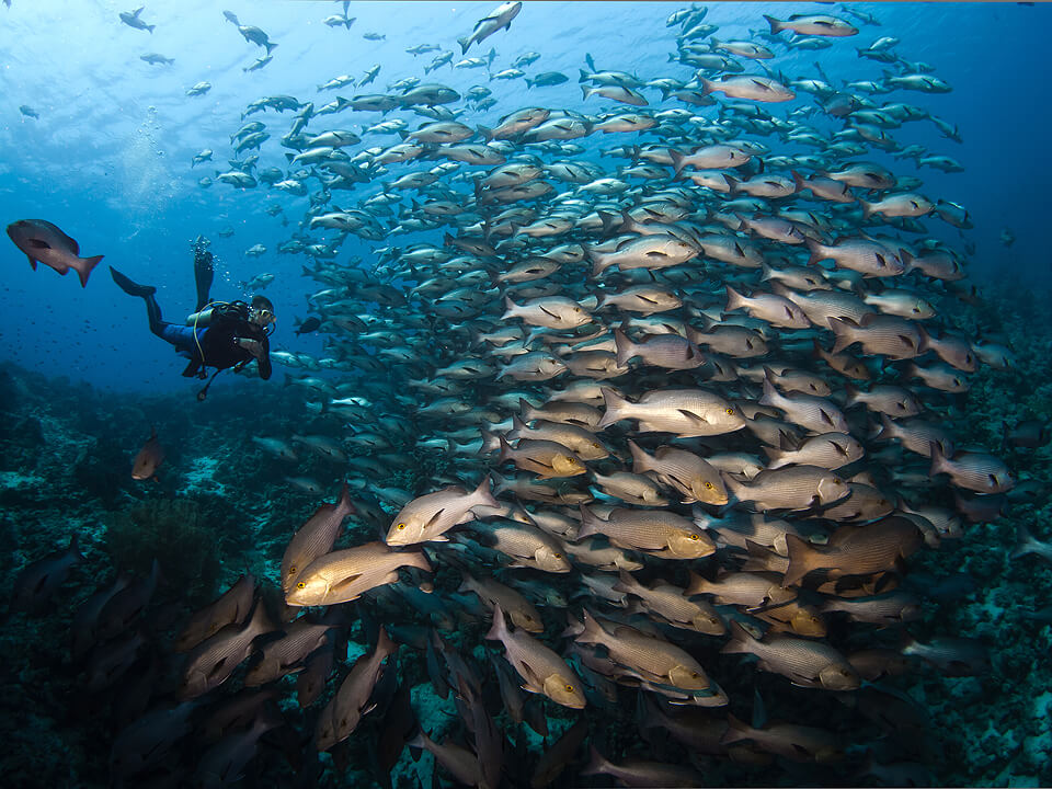 Scubadiver With Fishes