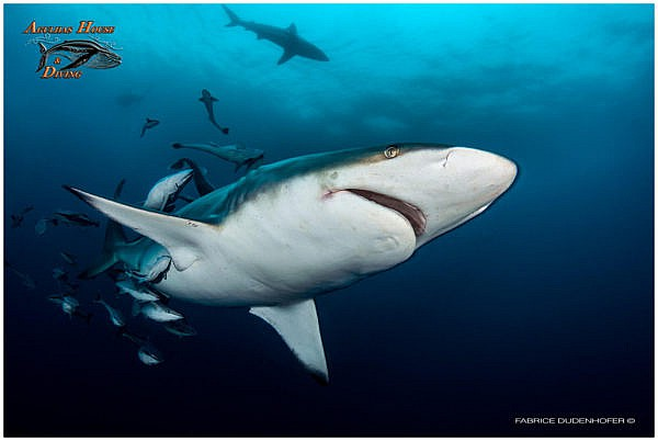 South Africa Diving With Sharks