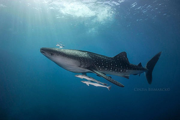 Red Sea Whale Shark